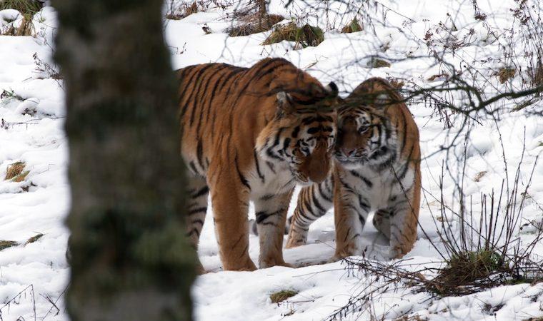 Amur tigers, Botzman and Dominika